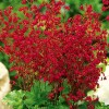 Coral Bells, Red
