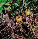 Late blight in tomato