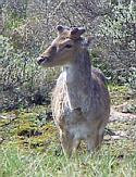 Natural Deer Control
