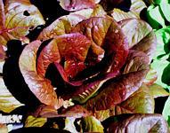 Rouge d'hiver winter lettuce