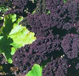 Redbor kale makes a striking impact in the garden