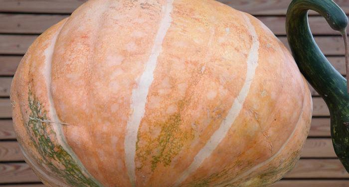10 Steps to a Giant Pumpkin