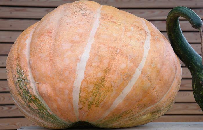 10 Steps to a Giant Pumpkin