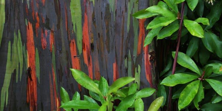 Decorative bark and good foliage color