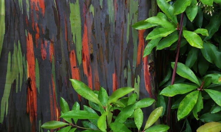 Rainbow Eucalyptus Paxson Woelber