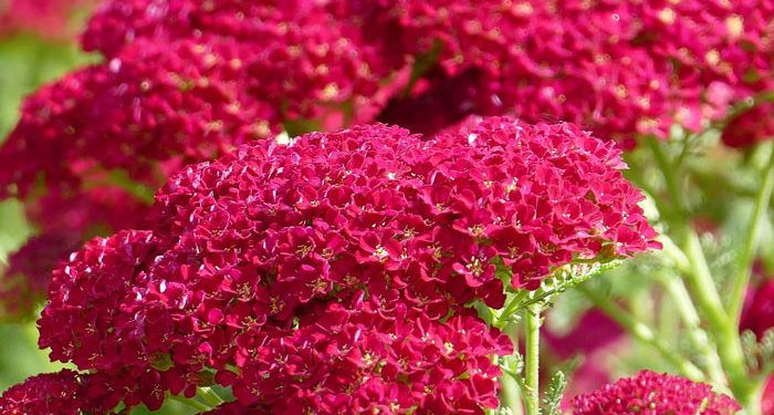 Achillea - Milfoil, Yarrow, Perennials Guide to Planting Flowers