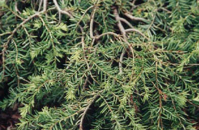 Adlumia fungosa - Perennials Guide to Planting Flowers