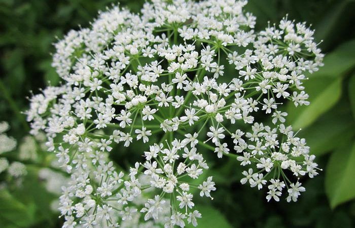Aegopodium - Bishop's  Weed, Goat Weed, Perennials Guide to Planting Flowers