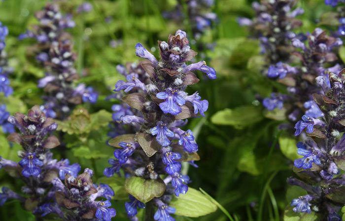 Ajuga - Bugle Flower, Perennials Guide to Planting Flowers