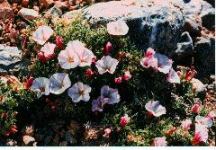 Anemone - Japanese Wind Flower, Perennials Guide to Planting Flowers
