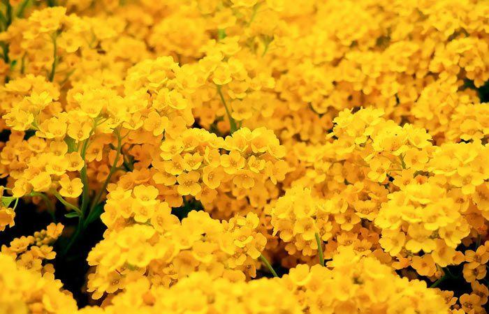 Arabis  - Rock Cress, Wall Cress, Perennials Guide to Planting Flowers