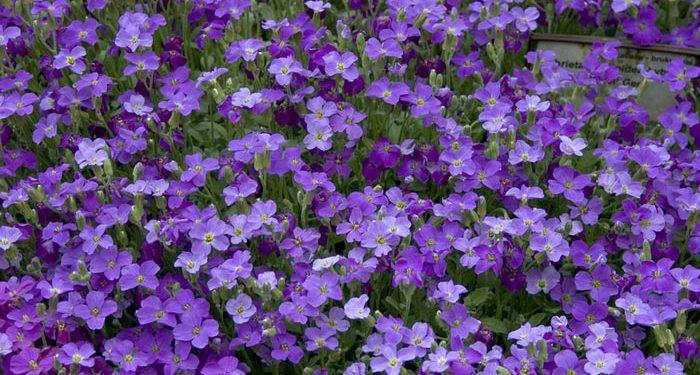 Aubrietia - Purple Rock Cress, False Wall Cress, Perennials Guide to Planting Flowers