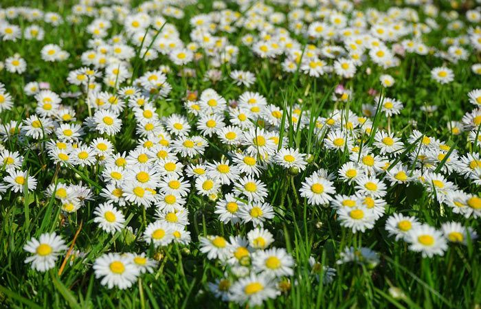 Bellis – English Daisy, Herb Margaret, Perennials Guide To Planting Flowers