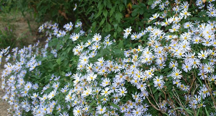 Boltonia - False Starwort, False Chamomile, Perennials Guide to Planting Flowers