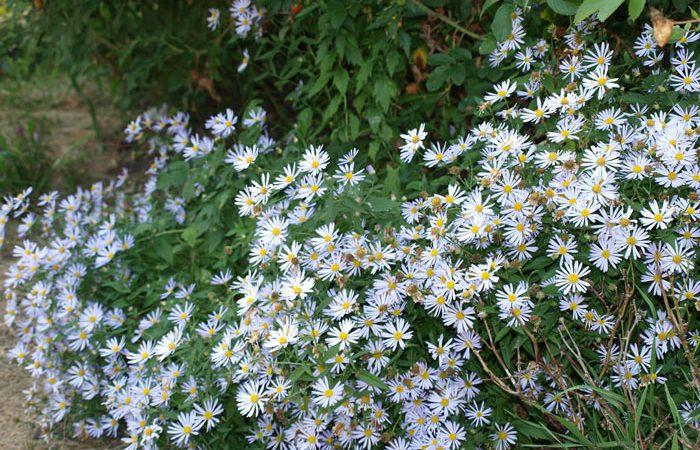 Boltonia - False Starwort, False Chamomile, Perennials Guide to Planting Flowers