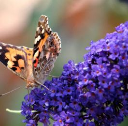 Buddleia - Butterfly Bush, Summer Lilac, Perennials Guide to Planting Flowers