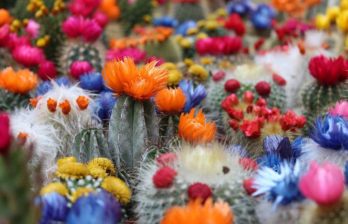 Cactus, Hardy - Opuntia, Echinocactus, Perennials Guide to Planting Flowers