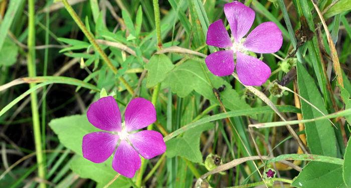 Callirhoe – Poppy Mallow, Perennials Guide To Planting Flowers