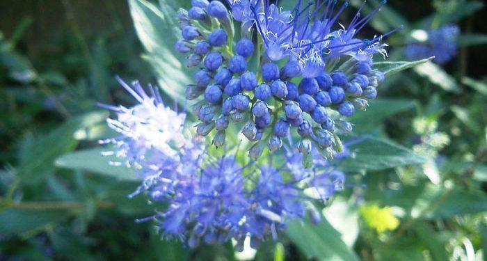 Caryopteris – Blue Spiraea, Perennials Guide To Planting Flowers
