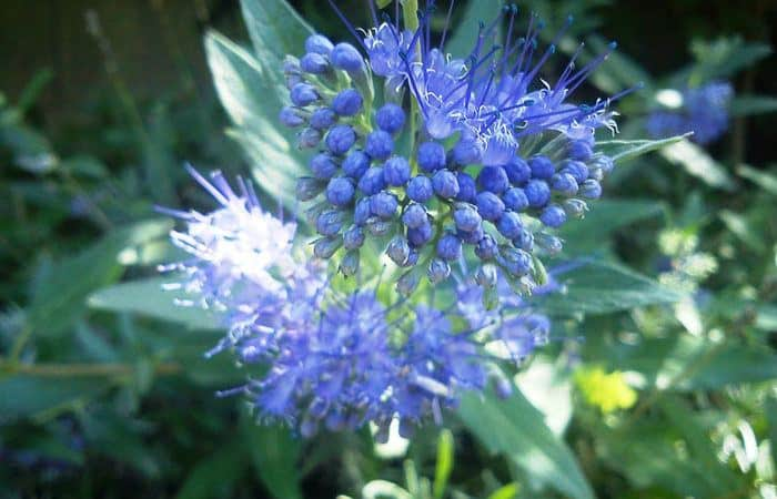 Caryopteris – Blue Spiraea, Perennials Guide To Planting Flowers