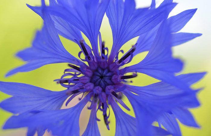 Centaurea – Knapweed, Hardy Cornflower, Perennials Guide To Planting Flowers