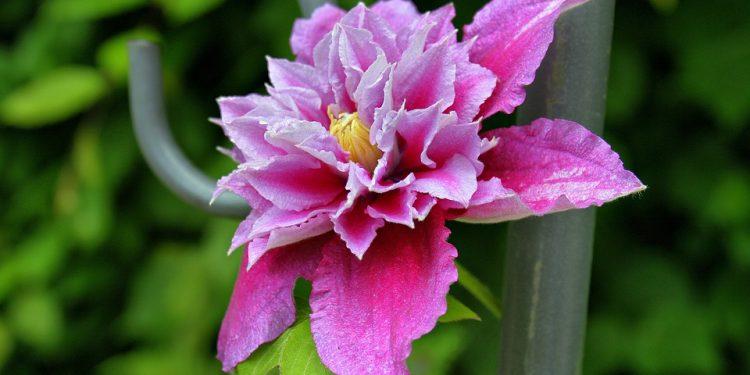 Planting Clematis