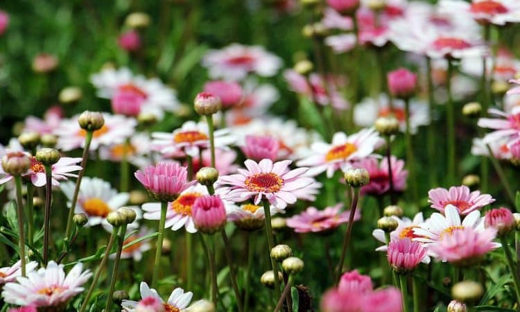 Daisies, Perennials Guide to Planting Flowers