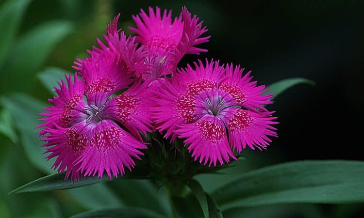 Dianthus - Hardy Pinks, Sweet William, Perennials Guide to Planting Flowers