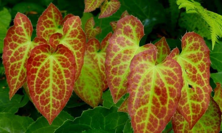 Epimedium - Bishop's Hat, Barrenwort, Perennials Guide to Planting Flowers