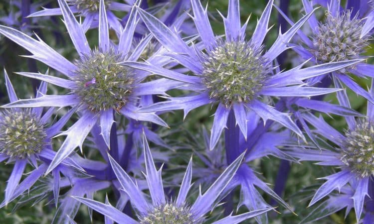 Eryngium - Sea Holly, Ivory Thistle, Perennials Guide to Planting Flowers