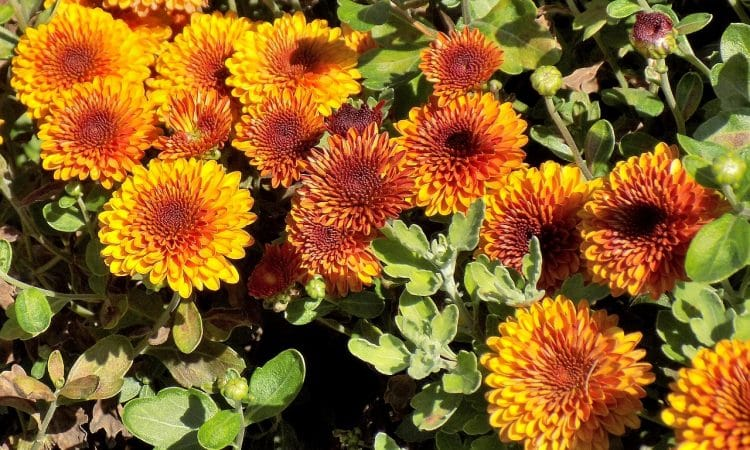 Fall Chrysanthemums for the Home Garden - Care, Planting, Insects