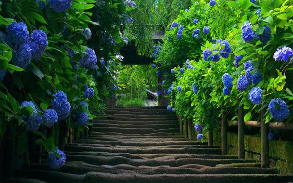 Beautiful fence with hydrangeas