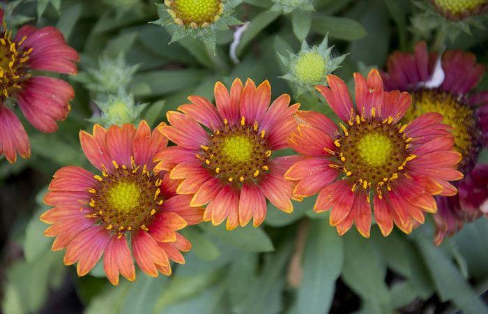GAILLARDIA  - Blanket flower, Annual Flower Information