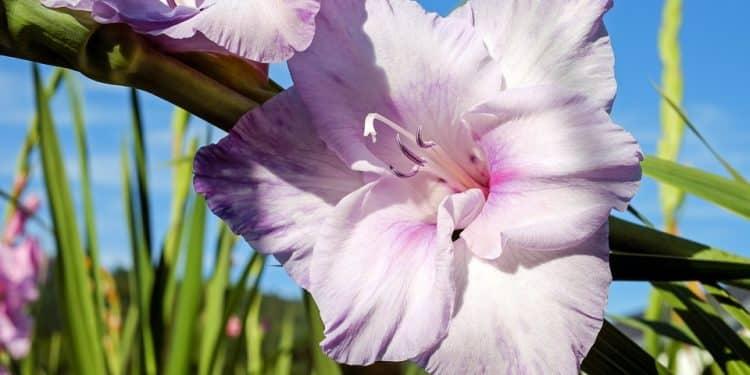 Gladiolus Care