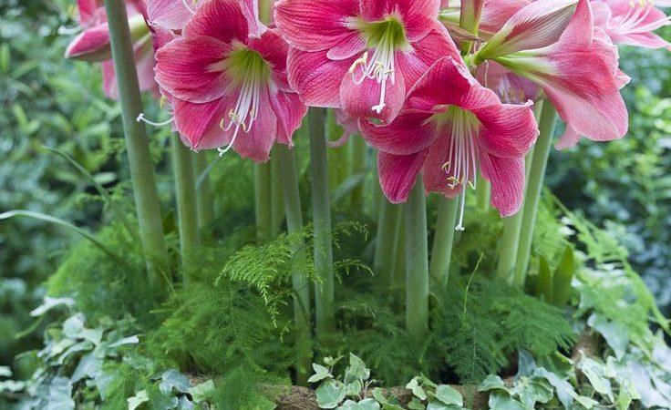 Growing bulbs to flower indoors
