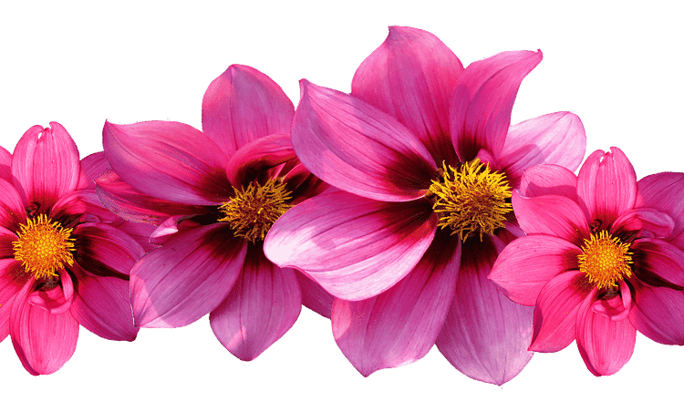 Growing Dahlias - How to care from Spring to Fall