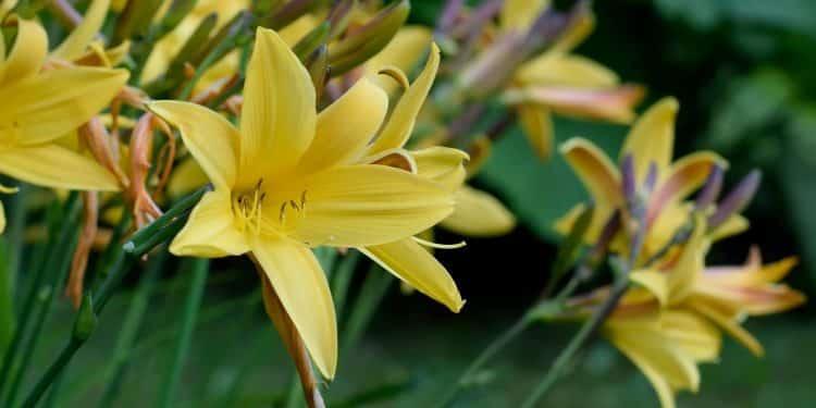 Growing Daylilies