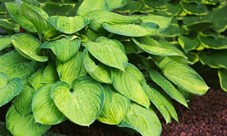 Growing Hostas, Perennials Guide to Planting Flowers