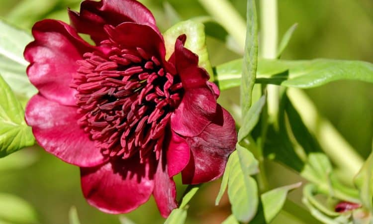 Growing Paeonia