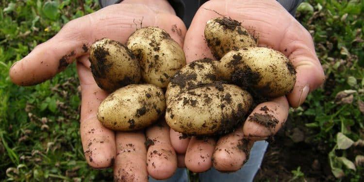 Growing potaotes