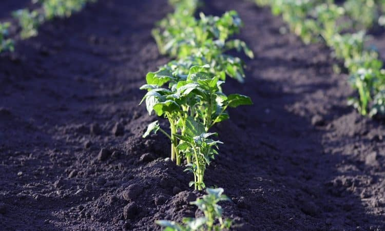 Potatoes mounds in a field