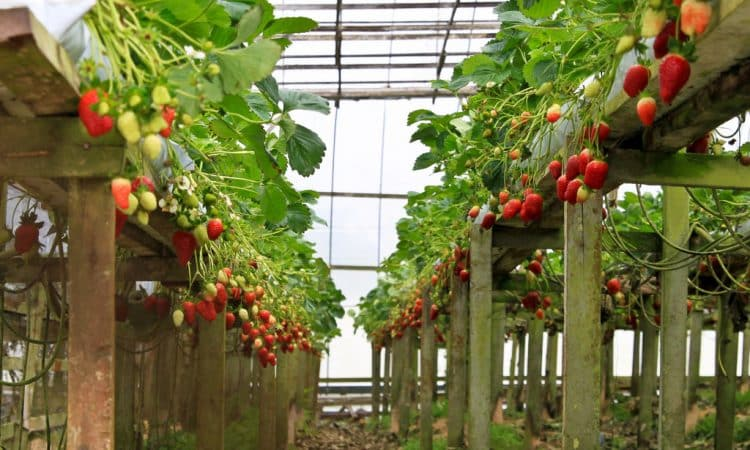 Growing Strawberries in a greenhouse