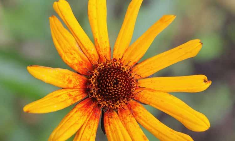 Heliopsis - Orange Sunflower,  Perennials Guide to Planting Flowers
