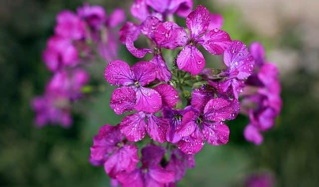 Hesperis -  Dames rocket, Damask-violet,  Perennials Guide to Planting Flowers