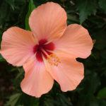 HIBISCUS (Abelmoschus)  Sunset Hibiscus, Annual Flower Information