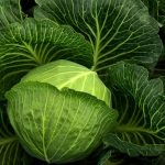 How to grow cabbage plant