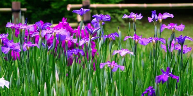 How to plant and care a Iris