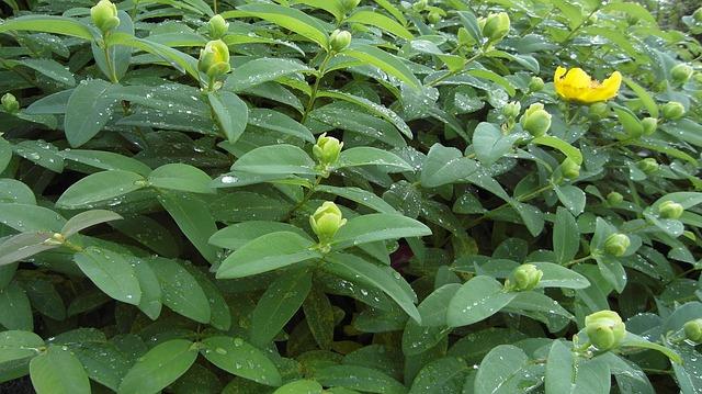 Hypericum - St. John's Wort,  Perennials Guide to Planting Flowers