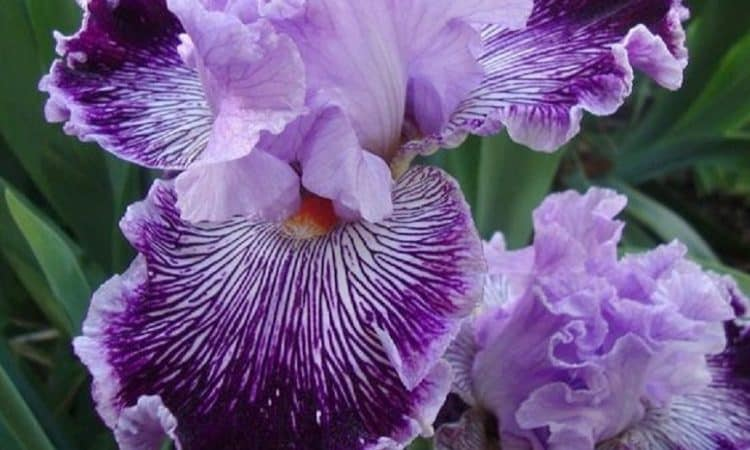 Iris - Flag,  Perennials Guide to Planting Flowers