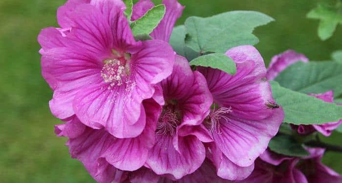LAVATERA - Treemallow (Annual-mallow), Annual Flower Information